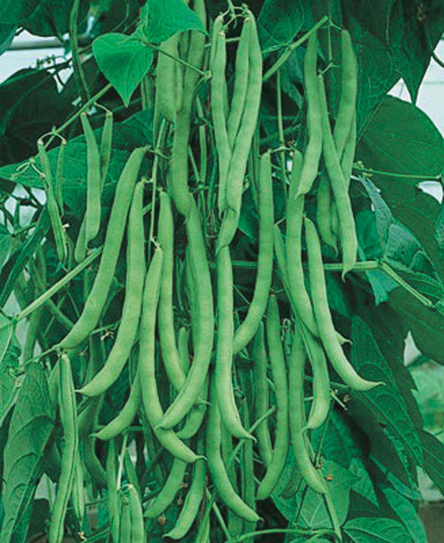Bean Ken Blue Pole - Qty. lbs