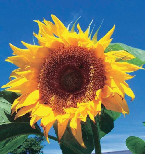 Sunflower Russ Giant - Qty. lbs