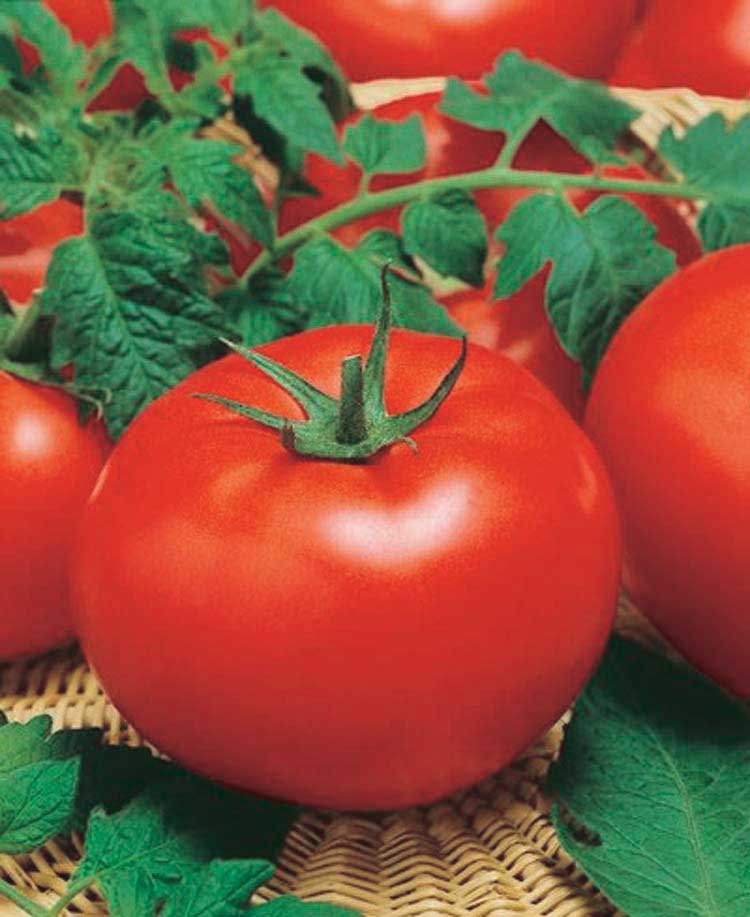 Tomato Big Beef - Qty. 25sds