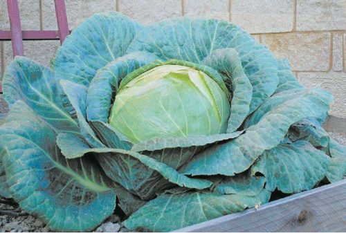 Cabbage O.S.Cross - Qty. 1000 sds