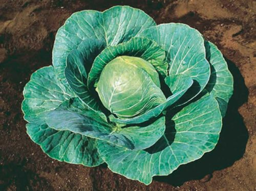 Cabbage Storage #4 - Qty. 500 sds