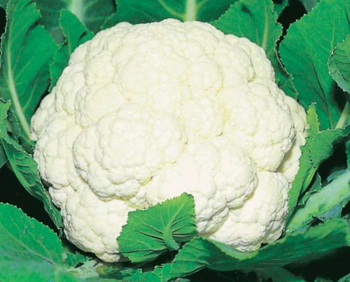 Cauli Majestic - Qty. msd
