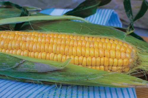 Corn Northern X-Sweet - Qty. msd