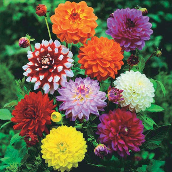 Dahlias Mixed - Qty. bulb