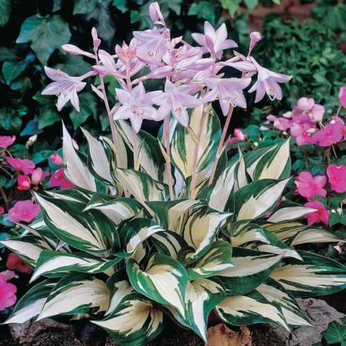 Hosta Fire & Ice - Qty. each