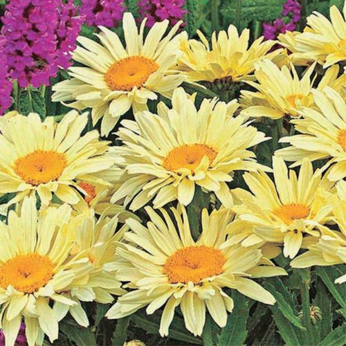 Daisy Banana Cream - Qty. ptd