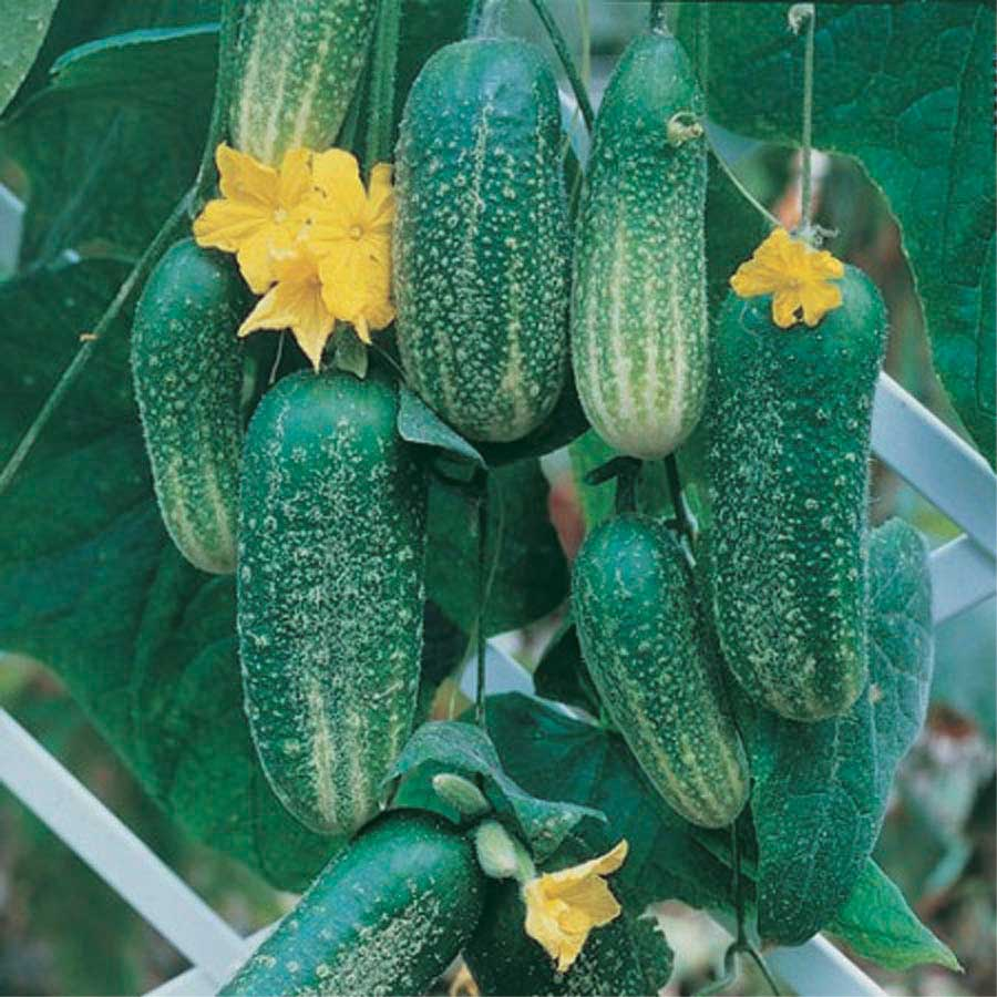 Cucumber Cool Breeze - Qty. 1000sds