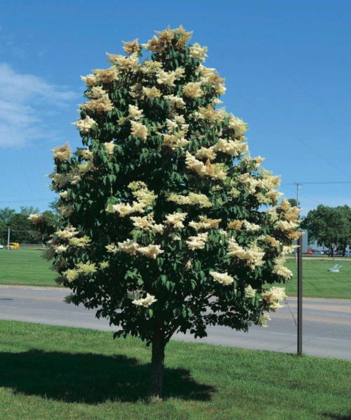 Japanese Tree Lilac 1 gal - Qty. 1 gal