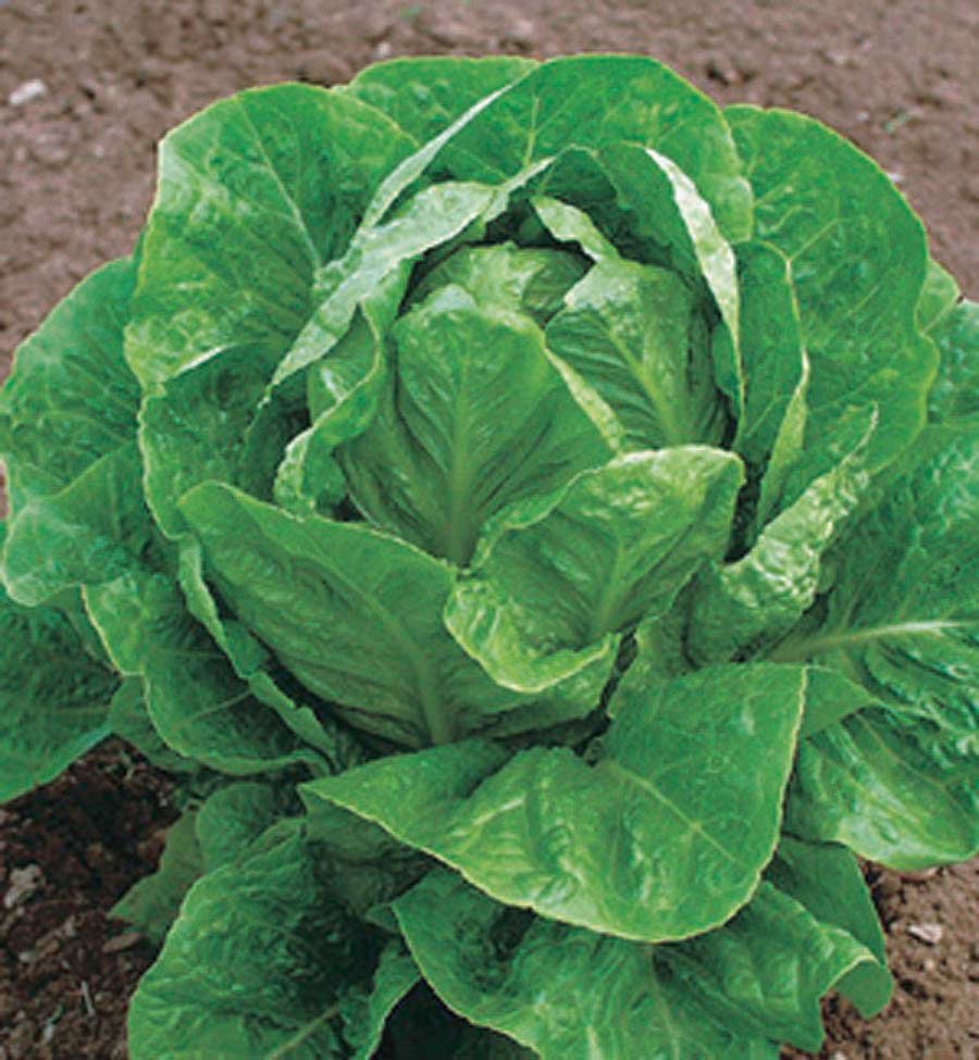 Lettuce Valley Heart - Qty. 1000 sds