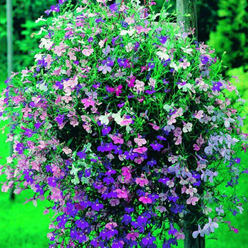 Lobelia Color Cascade - Qty. gms