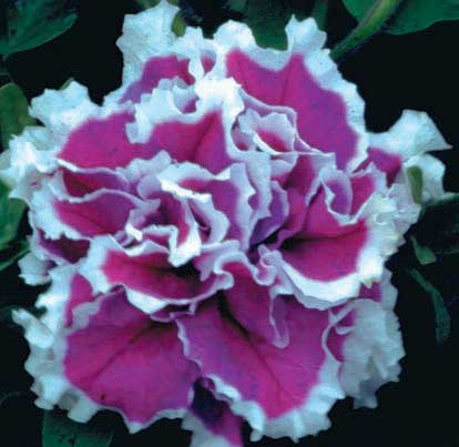 Petunia Purple Pir - Qty. msd