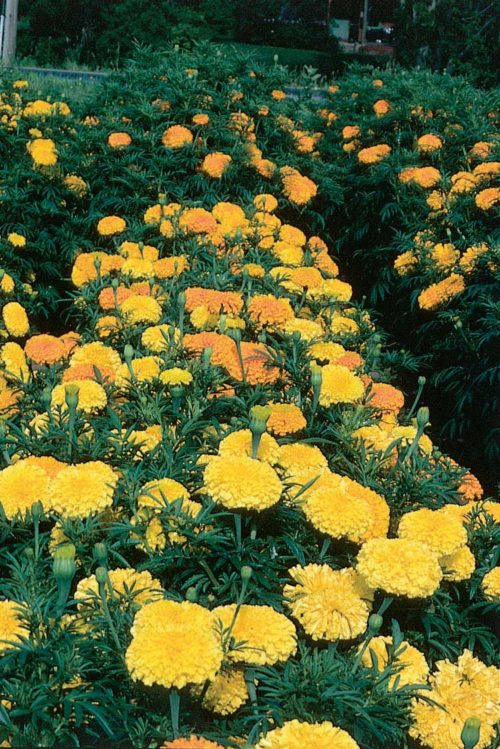Marigold Crackerjack - Qty. gms