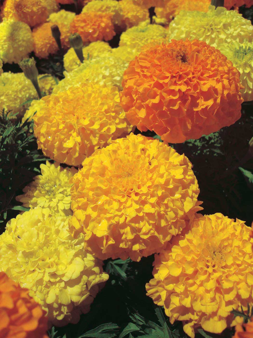 Marigold Inca Yellow - Qty. 500sds