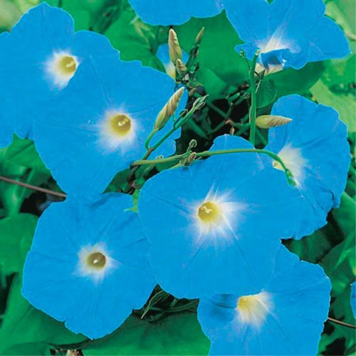 Morning Glory H Blue - Qty. gms