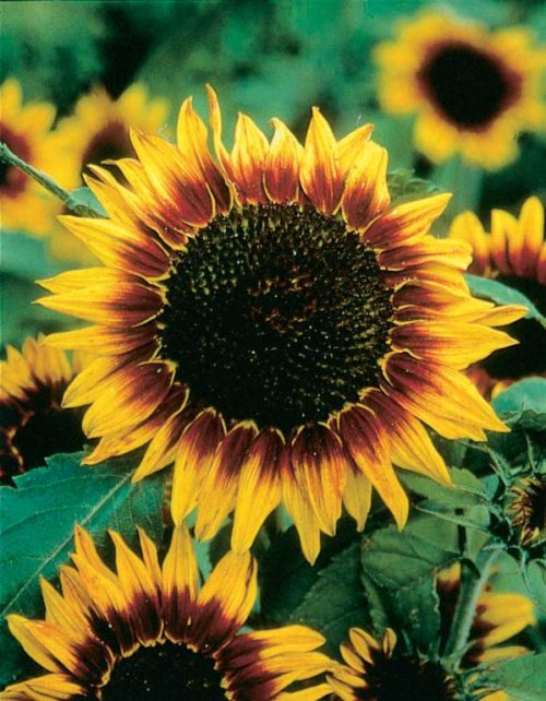 Sunflower Ring of Fire - Qty. msd