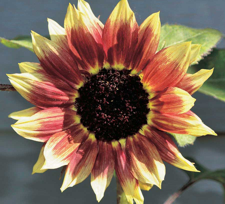 Sunflower Florenza - Qty. msd