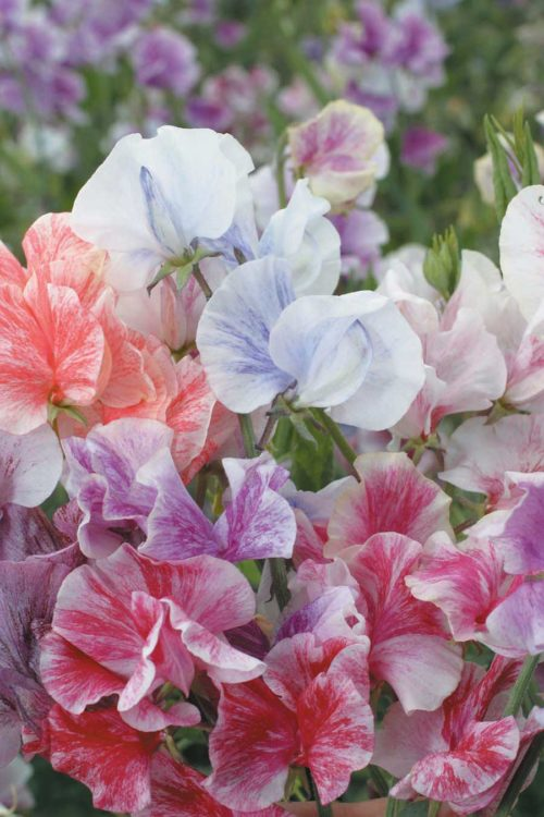Sweet Pea Streamers Mix - Qty. 25gm