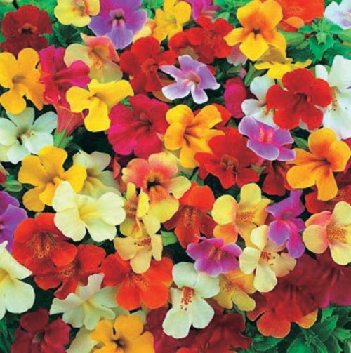 Mimulus Magic Mix - Qty. msd