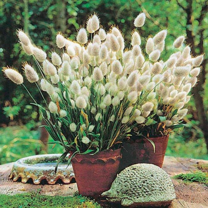 Bunny Tails Grass - Qty. 50sds