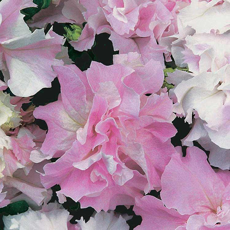 Petunia Orchid Mist - Qty. 50sds
