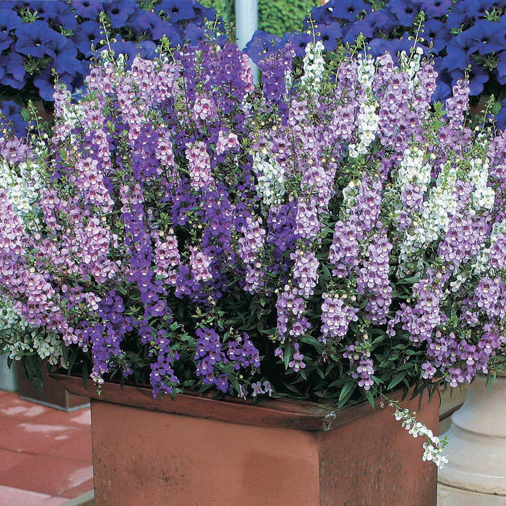 Angelonia Serena Mix T T Seeds